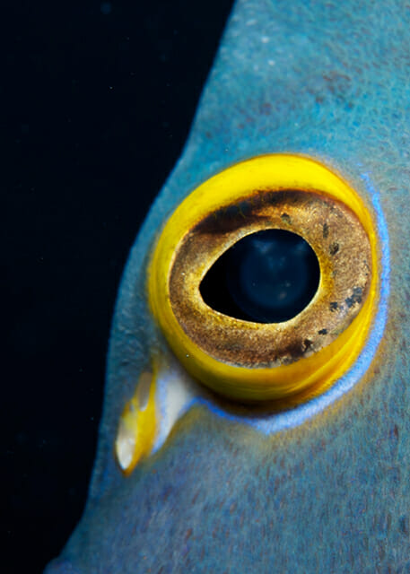 fish eye dory yellow blue black marine aquatics