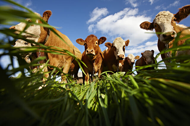 cows field grass brown cow animal cattle blue sky low angle camera floor ground
