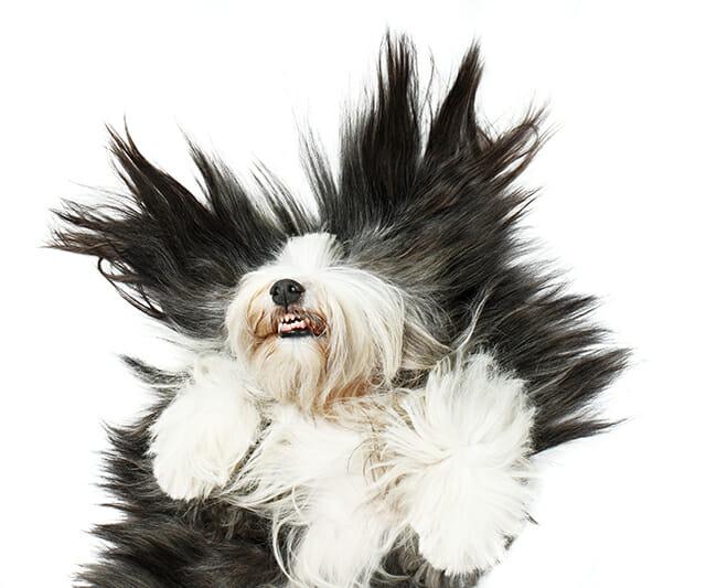 old english sheepdog dog pet animal floor back laughing happy tickling fun portrait