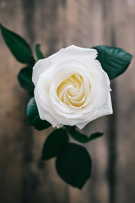 white rose overhead Feedback