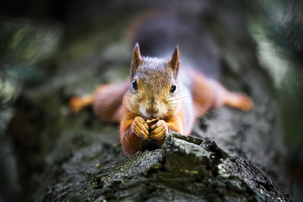 squirrel nuts wildlife photography red grey furry tree