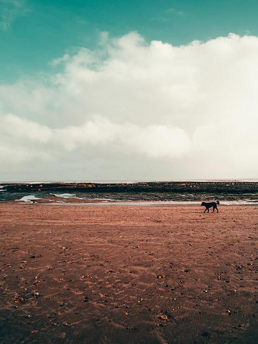 a dog walking alone on a beach