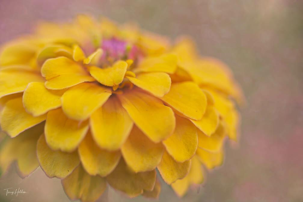 Copyright Terry Holdren 2020 iPhotography Textured flower photos 4