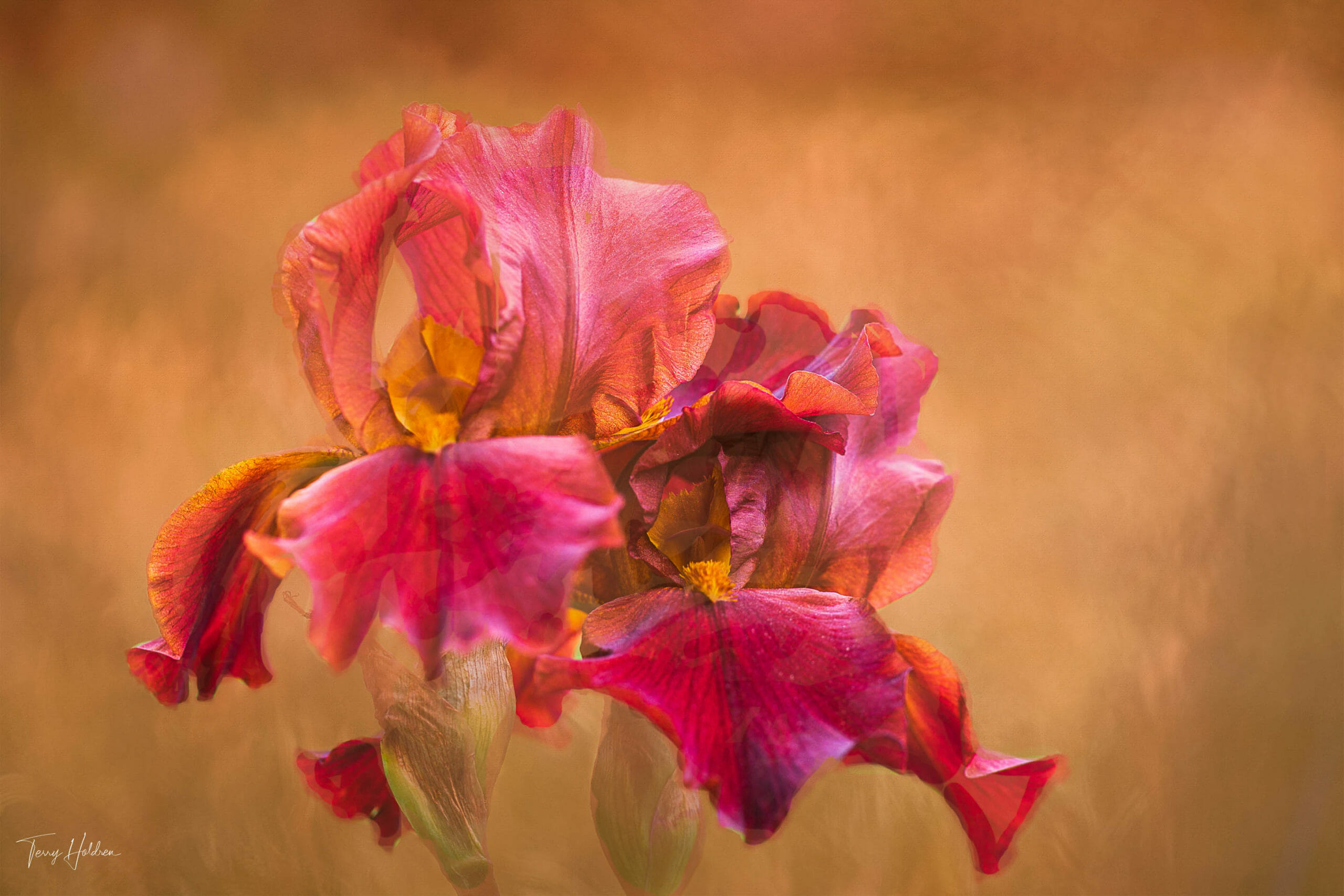 Copyright Terry Holdren 2020 iPhotography Textured flower photos 3