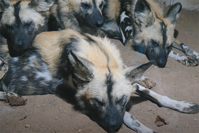iphotography zoo photos painted dogs sleeping