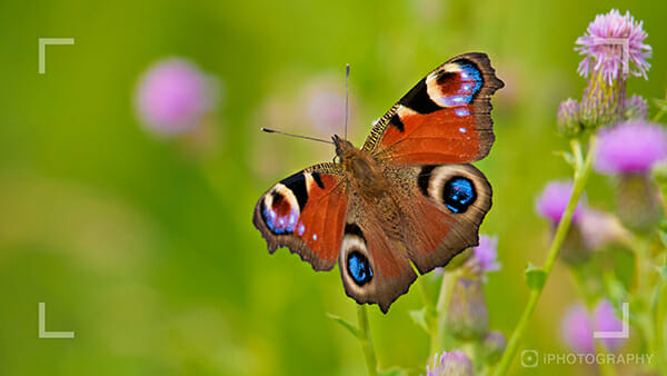 wildlife photography webinar butterfly 1
