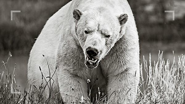 wildlife photography course polar bear
