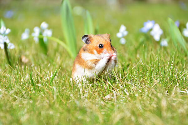 pet photography hamster in field eating