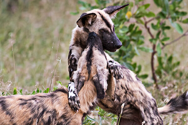 Zoo Painted Dogs