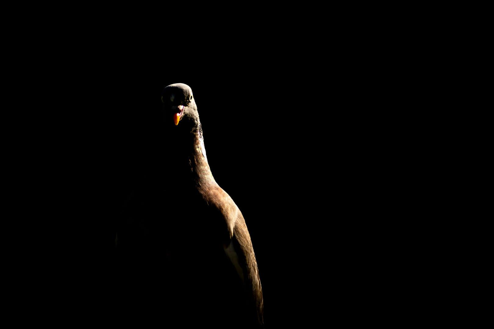 JeremyWood_Pigeon